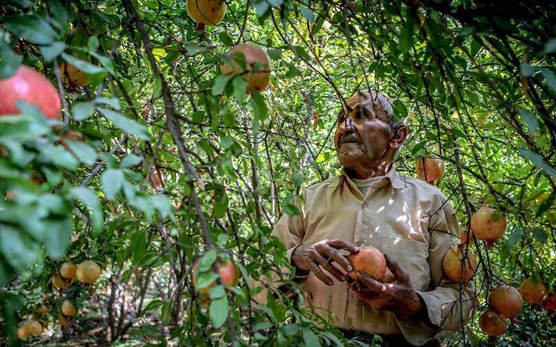 باغ انار روستای ژیوار