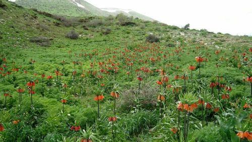 لاله واژگون .طبیعت روستای گلال .پاوه