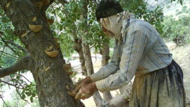 تهیه سقز ار درخت ون روستای ساتیاری