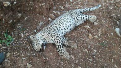 یک قلاده پلنگ ایرانی در روستاي زوم تلف شد