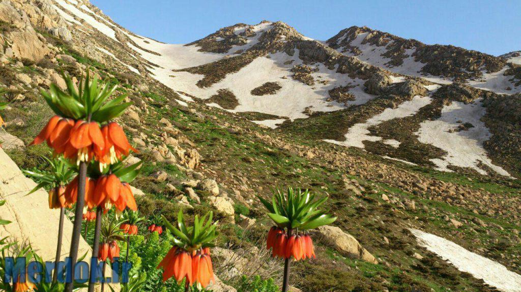 لاله واژگون در کوه های شاهو