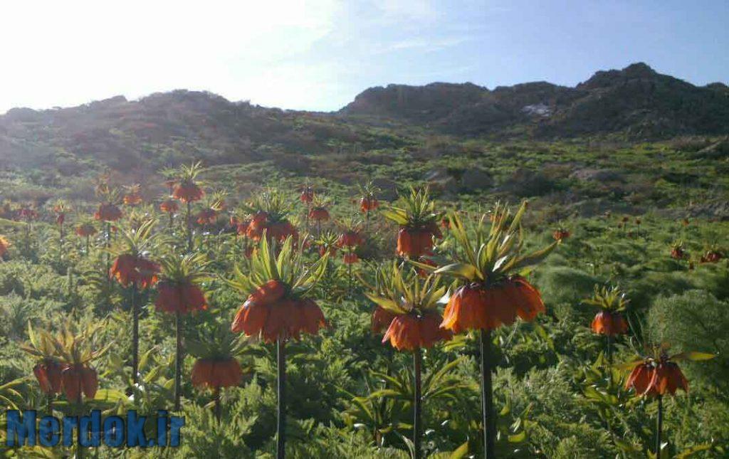 لاله واژگون - کوهستان کوسالان