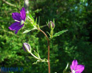 legousia speculum-veneris