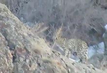 مشاهده پلنگ در کوه های روستای هجیج