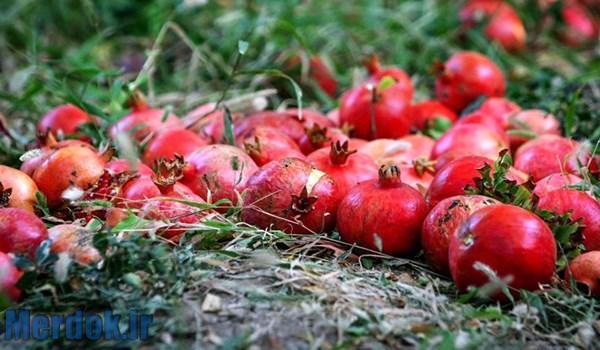 باغات انار روستای ناو