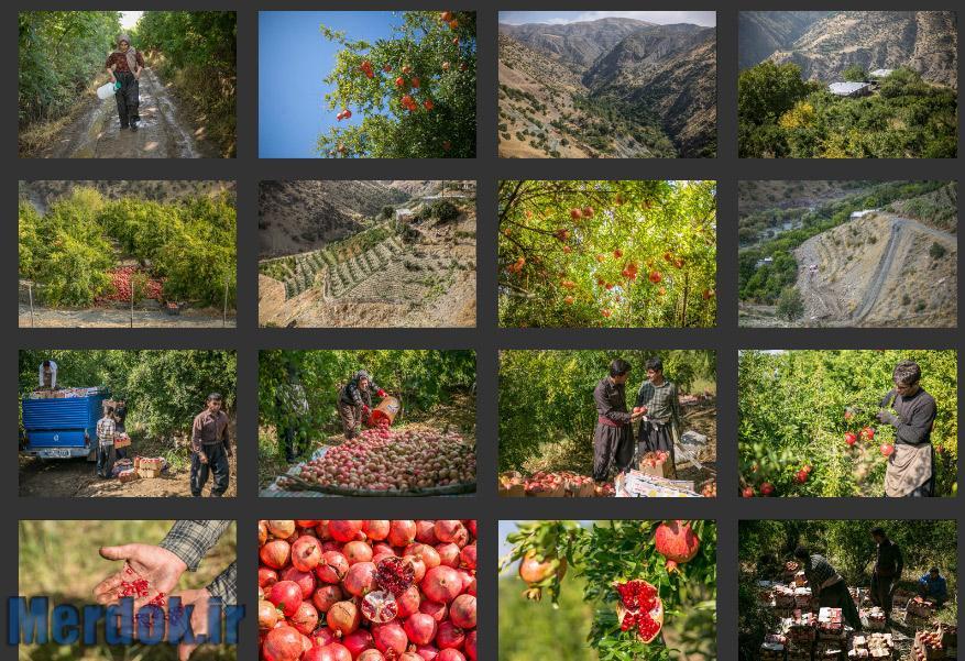 برداشت انار از باغات روستای سرریز