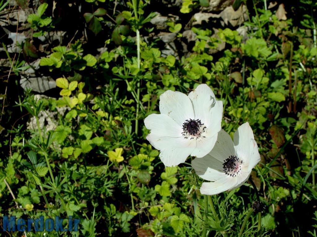 گل شقایق - فروردین ۱۳۹۴ - عکس از عدنان مرادی