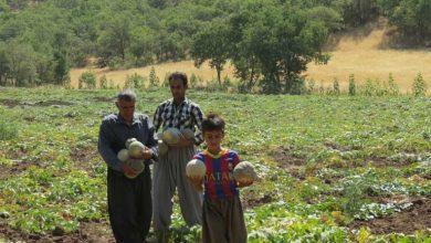 برداشت گرمک در روستای ذکریان