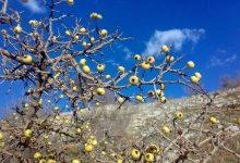 میوه زالزالک یا بلچی